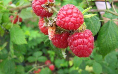 Distribution de petits fruitiers le 25 novembre